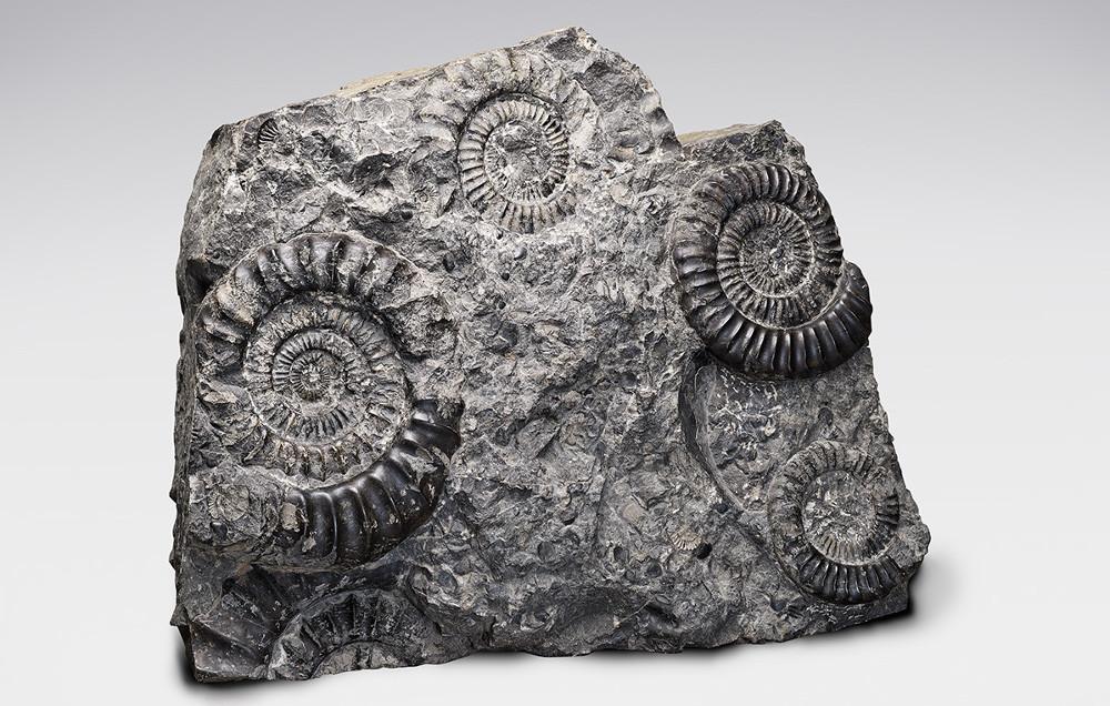 ammonitenplatte-ecb82f5802b7bdd73c47b353e7bbeddb